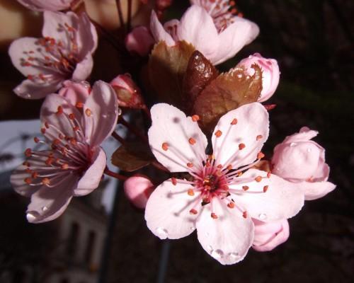 Cireși în floare